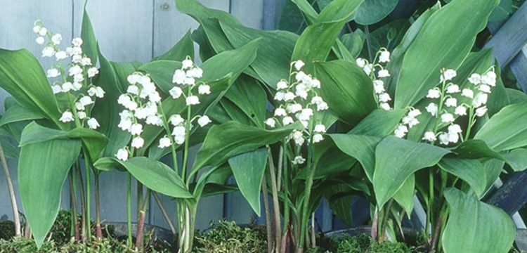 Comment replanter du muguet en pot ? | Richesceleb.com